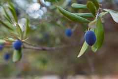 Ripe olives on olive tree branch in closeup view. And backkground in soft focus Stock Images