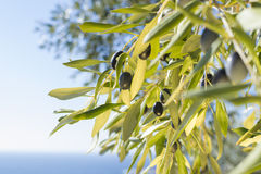 Ripe olives. On tree branches with the blue sea and sky out of focus in the background on the island of Thassos, Greece Stock Photos