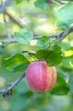 Ripe one apple on tree Royalty Free Stock Photos