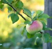 Ripe one apple on tree Stock Photos