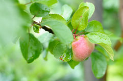 Ripe one apple on tree Royalty Free Stock Photo