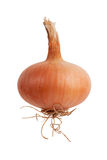 Ripe onion with roots Stock Images