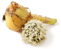 Ripe onion on white Royalty Free Stock Image