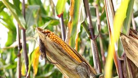 Ripe oor van maïs met gele korrels op het veld stock video