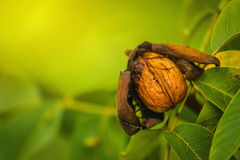 Ripe open green walnut fruit on branch Royalty Free Stock Photo