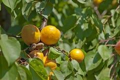 Ripe orange apricot branch Stock Photo