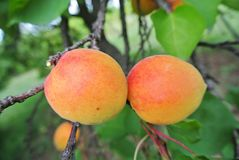 Ripe orange apricots on the tree in an orchard Royalty Free Stock Images