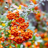 Ripe orange berries on a branch. Autumn rainy day Royalty Free Stock Image