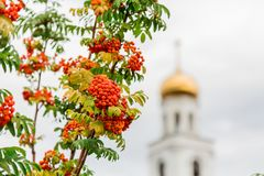 Ripe orange berries of the Rowan tree and the Orthodox Church in the background. The City Of Samara, Russia Royalty Free Stock Photography