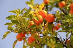 Ripe orange fruits on the tree. Branches with the orange fruits on the tree on blue sky background. Ripe orange fruits on the tree, selective focus stock photo