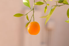 Ripe orange hanging on a tree Royalty Free Stock Photography