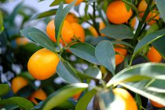 Ripe orange mandarins on the branches with green leaves stock photos