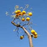 Ripe orange at the orange tree Royalty Free Stock Image