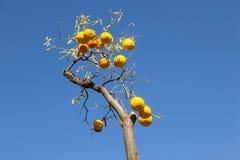 Ripe orange at the orange tree Royalty Free Stock Photos