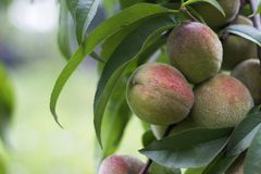 Ripe orange peaches hanging on the tree, beautiful and healthy fruits, food, background.  stock photo