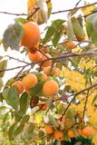 Persimmon on the branches Royalty Free Stock Images