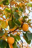 Persimmon on the branches Royalty Free Stock Photos