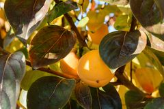 Persimmon on the branches Stock Images