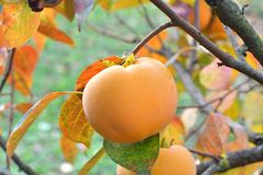 Ripe orange persimmon, growing on a tree royalty free stock image
