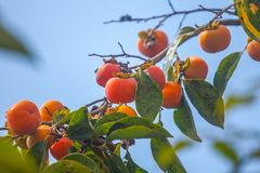 Ripe Orange Persimmons On The Persimmon Tree, Fruit Stock Photography