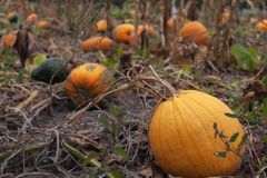 Ripe orange pumpkins in the autumn garden stock photo