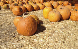 Ripe Orange Pumpkins Stock Image