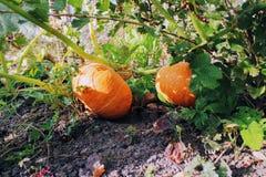 Ripe orange pumpkins grow in the garden Stock Image