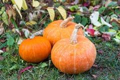 Orange pumpkins growing in the vegetable garden stock photo