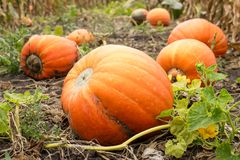 Ripe orange pumpkins with vine at the field in autumn Stock Images