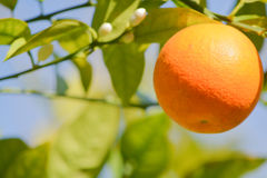 A juicy sweet Florida Orange on a tree at picnic island park on Tampa Bay, Florida Stock Photos