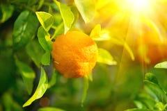 Ripe orange or tangerine hanging on a tree stock photo