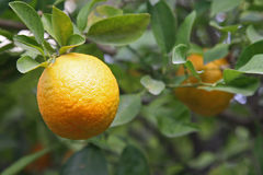 Ripe orange on a tree Royalty Free Stock Image