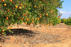 Ripe orange tree Royalty Free Stock Image