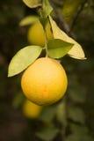 Ripe orange on tree Royalty Free Stock Photography