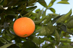 Ripe orange Stock Photography