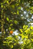 Ripe Orange Tree. Single ripe orange hanging from tree in sunlight Stock Images