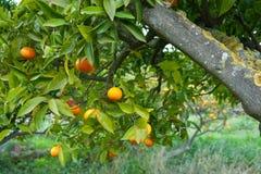 Ripe oranges Royalty Free Stock Photo