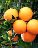 Ripe Oranges. Juicy Ripe Oranges On Tree Stock Photos