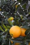 Ripe oranges on branch Stock Image