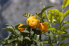 Ripe oranges on a branch Stock Photo