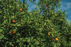 Ripe oranges on branches in a farm royalty free stock photo