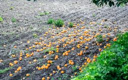 Ripe oranges fallen on the ground under a tree stock photography
