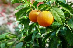Ripe oranges growing on tree in orchard Stock Photos