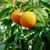 Ripe oranges growing tree orchard seville spain Stock Image