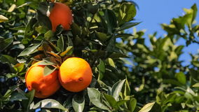 Ripe oranges hanging on an orange tree stock video