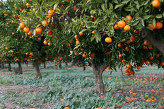Ripe Oranges ready for picking. In the Costa Blanca region of Spain Royalty Free Stock Images