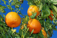 Ripe oranges at tree. In the sun of spain Stock Photo
