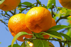 Ripe oranges on tree Royalty Free Stock Photos
