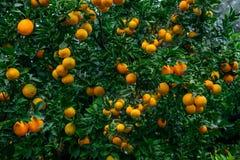 Ripe oranges Stock Image