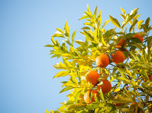 Ripe oranges Stock Image